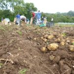 sept-2015-potato-harvest